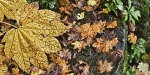 Autumn Leaves on Wet Rocks